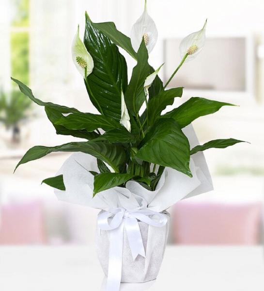 Spatifilyum Bitkisi